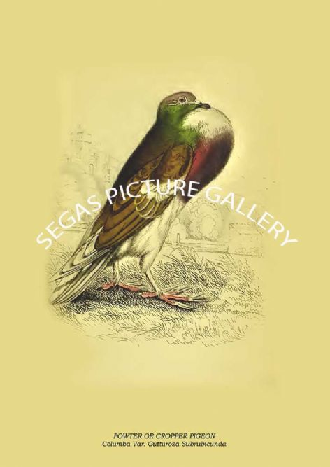 Fine art print of the POWTER OR CROPPER PIGEON - Columba Var. Gutturosa Subrubicunda by the artist Prideaux John Selby (1845-46)